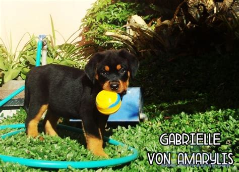 puppies for sale in tacoma wa for sale quality rottweiler puppies breeds picture