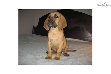 bloodhound puppies for sale in nc akc chion sired bloodhound puppydog bloodhound puppy d61925d0 bfee