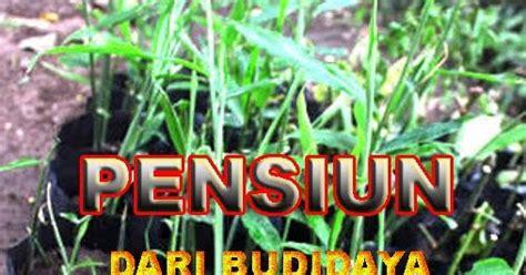 Pupuk Sapi Pak Tani kaya dan sukses dengan tani ternak organik budidaya jahe