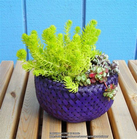 Planters Cheese Balls For Sale by Sempervivum And Jovibarba Forum Cheap Succulent Planter