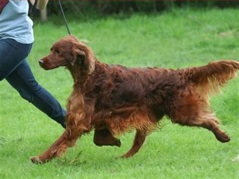 irish setter dog poisoned crufts dog show murder mystery irish setter jagger