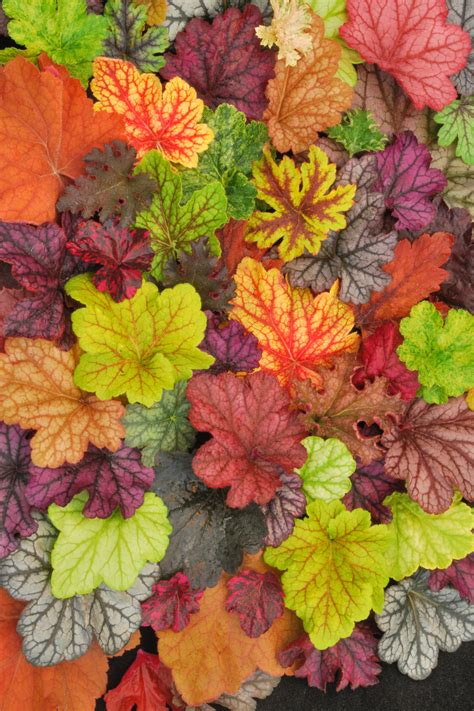 Different Names Of Green by Shop Plants A To Z Heuchera Bloomin Designs Nursery