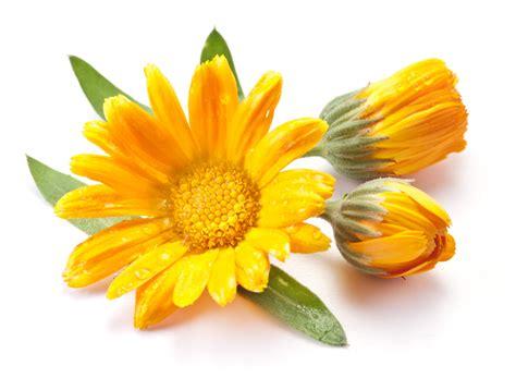 fiore calendula la calendula 232 antispasmodico e antinfiammatorio naturale