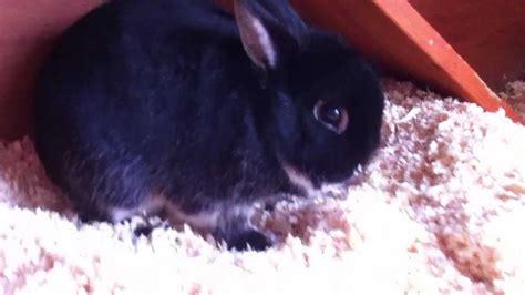 next new year rabbit 5 years netherland rabbit makes himself at home