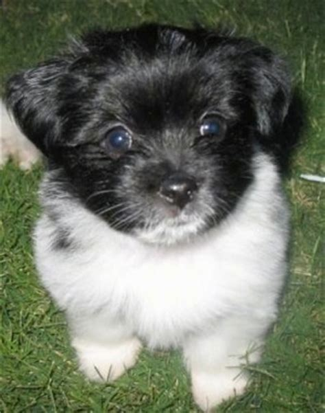 havanese puppies for sale vancouver bc havanese breed profile havanese pictures havanese puppies for sale breeds
