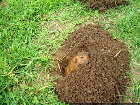 how to get rid of a gopher in my backyard gardening landscaping how to get rid of gophers how to get rid of gophers in your