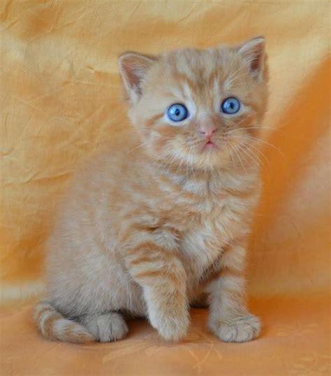 wo kann hã ngematten kaufen britisch kurzhaar in koblenz katzen kaufen und verkaufen