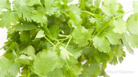 Cilantro Coriander Leaves 15 amazing health benefits of cilantro coriander leaves