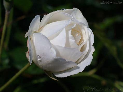 imagens de flores e rosas top cor de rosa do wallpapers