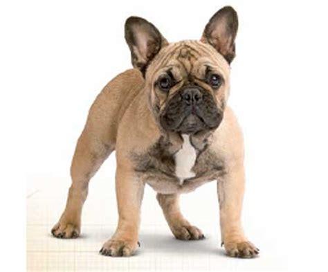 bull frances imagenes de bulldog frances adulto