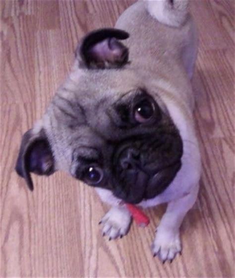14 week pug pug breed pictures 1