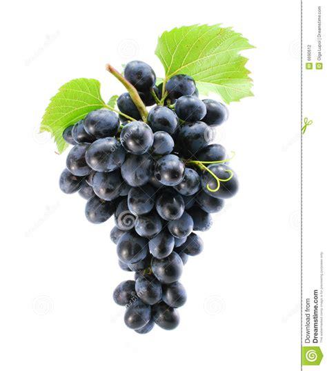 imagenes de uvas tintas racimo de uva azul aislado foto de archivo imagen de