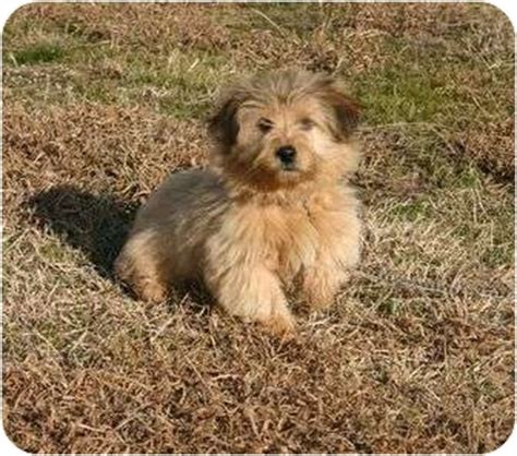 yorkie border collie mix macy adopted puppy 1337 muldrow ok yorkie terrier border collie mix
