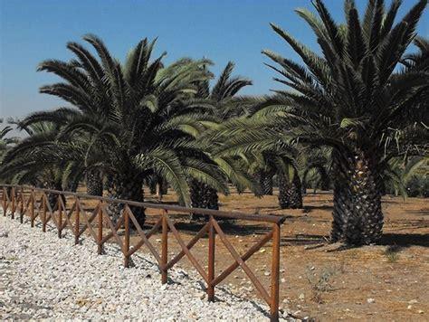 palma pianta da giardino pianta palma piante da giardino caratteristiche della
