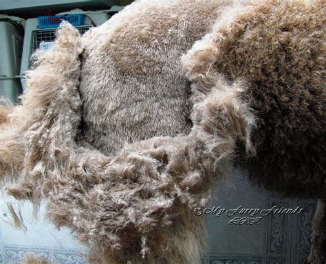 Matted Dogs by Matted Hair Bad