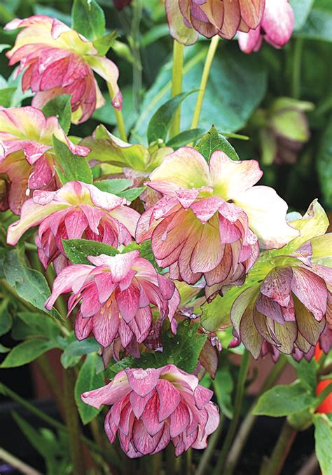 helleborus peppermint ice quot hellebore quot buy online at annie s annuals