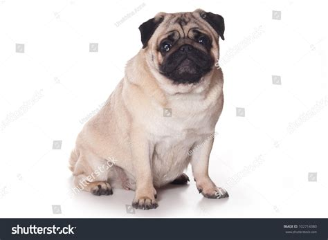 pug white background pug on white background stock photo 102714380