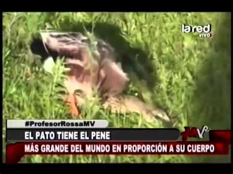 Zoofila Gozo Con Los Penes Gruesos | el pato tiene el pene m 225 s grande del mundo en proporci 243 n a