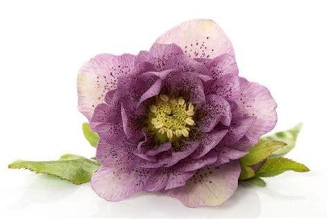 elleboro fiore elleboro la rosa di natale