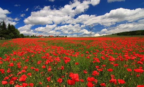 canada remembrance day poppy fields komives zoltan