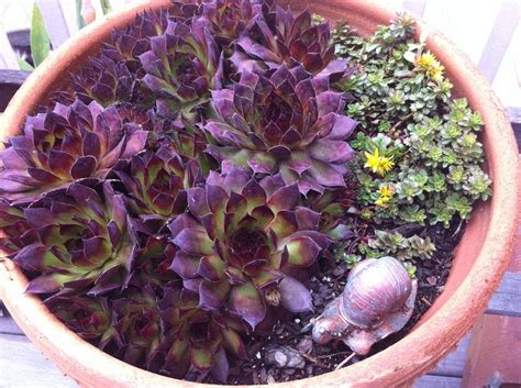 succulents and hens chickens hens chickens pinterest