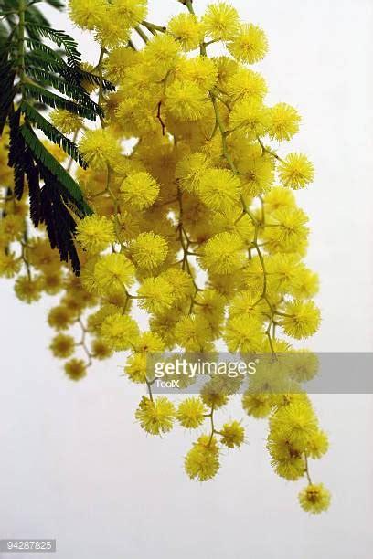 fiore mimosa immagini mimose foto e immagini stock getty images