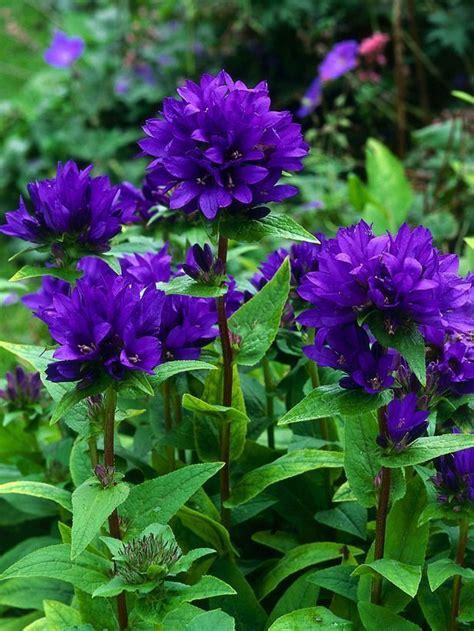 Purple Garden Flowers Best 25 Purple Flowers Ideas On Verbena Drought Tolerant Shrubs And Flowers