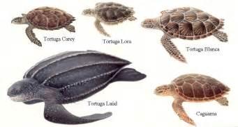 imagenes de tortugas blancas tortugas especies eco bahia org fundaci 243 n ecol 243 gica