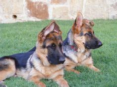 german shepherd puppy ears stages 1000 ideas about forum on maltese maltese puppies and maltese dogs