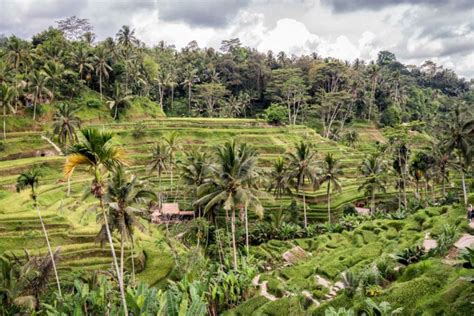 picture   week tegalalang rice terraces  bali