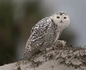 arctic snowy owls are flocking south toronto star
