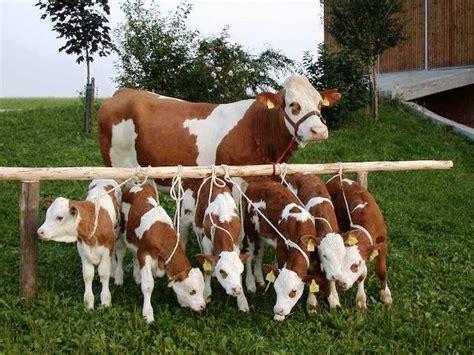 Bibit Sapi Limosin Dan Simental 65 foto gambar sapi potong sapi limosin limousin