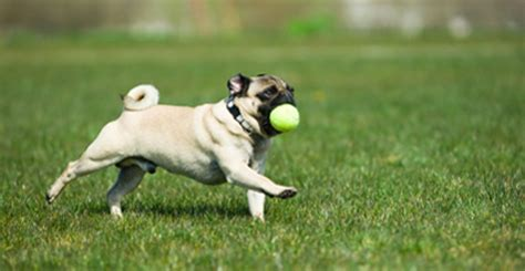 pug run are more playful puppies easier to barkpost