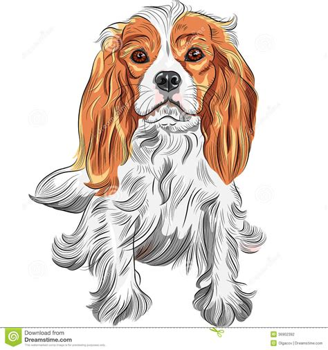 color sketch vector color sketch of the cavalier king charl stock