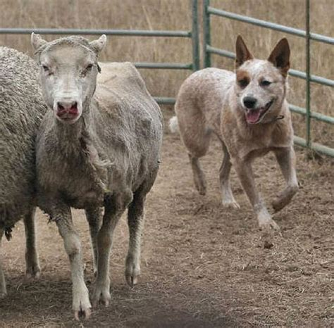 australian herding great pyrenees australian cattle mix dogs pictures photos pics breeds picture
