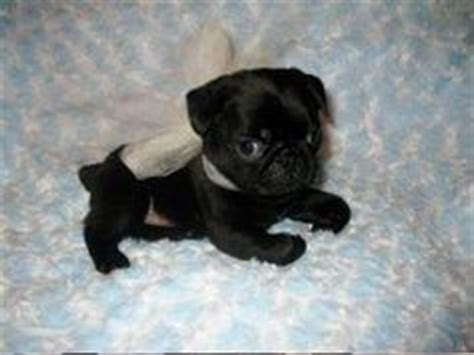 black pugs for adoption 1000 ideas about baby pugs for sale on pugs for sale pugs for adoption