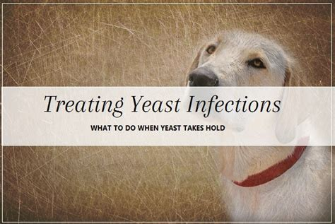 fungal skin infection in dogs dog health guide treating yeast infections pooch dog spa news