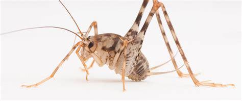 image gallery spider cricket