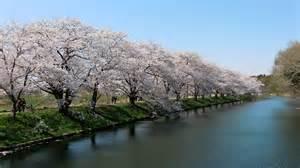 Japanese Cherry Blossom Tree File Cherry Blossom In Fukuokazeki Sakura Park Jpg