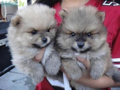 100 pomeranian puppies sale pomeranian puppies 100 for sale united states pets 3