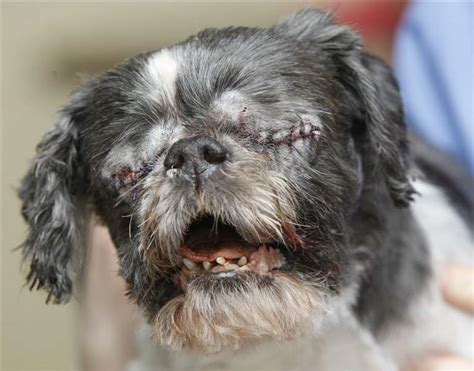 one eyed shih tzu blind shih tzu stevie has eye treated for infections the blade