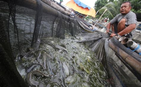 Bibit Lele Surabaya Hasil Budidaya Lele Jumbo Dari Kung Lele Surabaya Okezone Foto