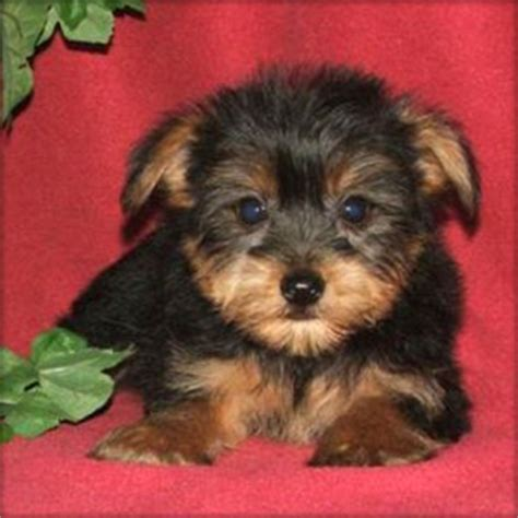 blue eyed yorkie dogs mississippi free classified ads