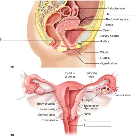 sagittal section of the female pelvis the female reproductive system a sagittal section