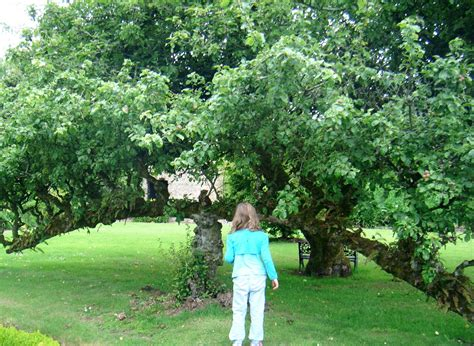 Maiden Fruit Trees - restoring mayberry fences of fruit trees