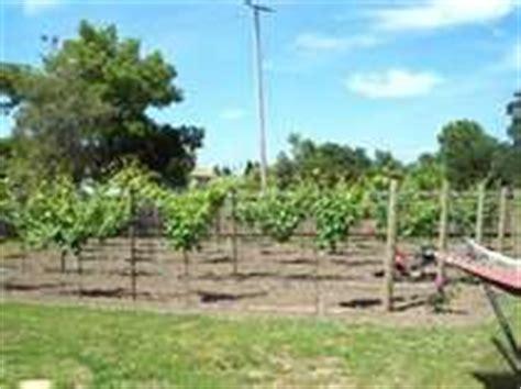 Small Backyard Vineyard by 1000 Images About Backyard Vineyard On Grape