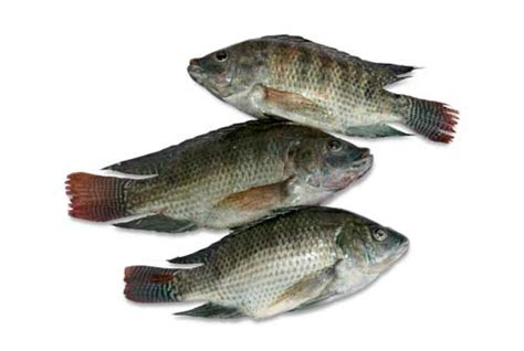 Bibit Ikan Nila Di Cirebon gambar gambar hewan ikan vektor gratis kartun