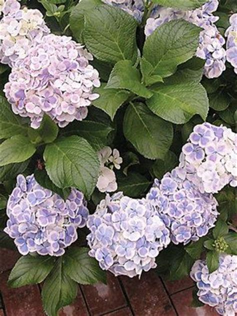 Wedding Ring Hydrangea by 19 Best Images About Flores On Iris