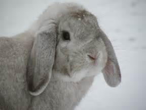mini lop rabbits usa rabbit breeders