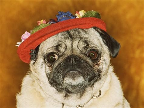 pugs hats 1000 images about pugs in hats on pug hats and birthday pug